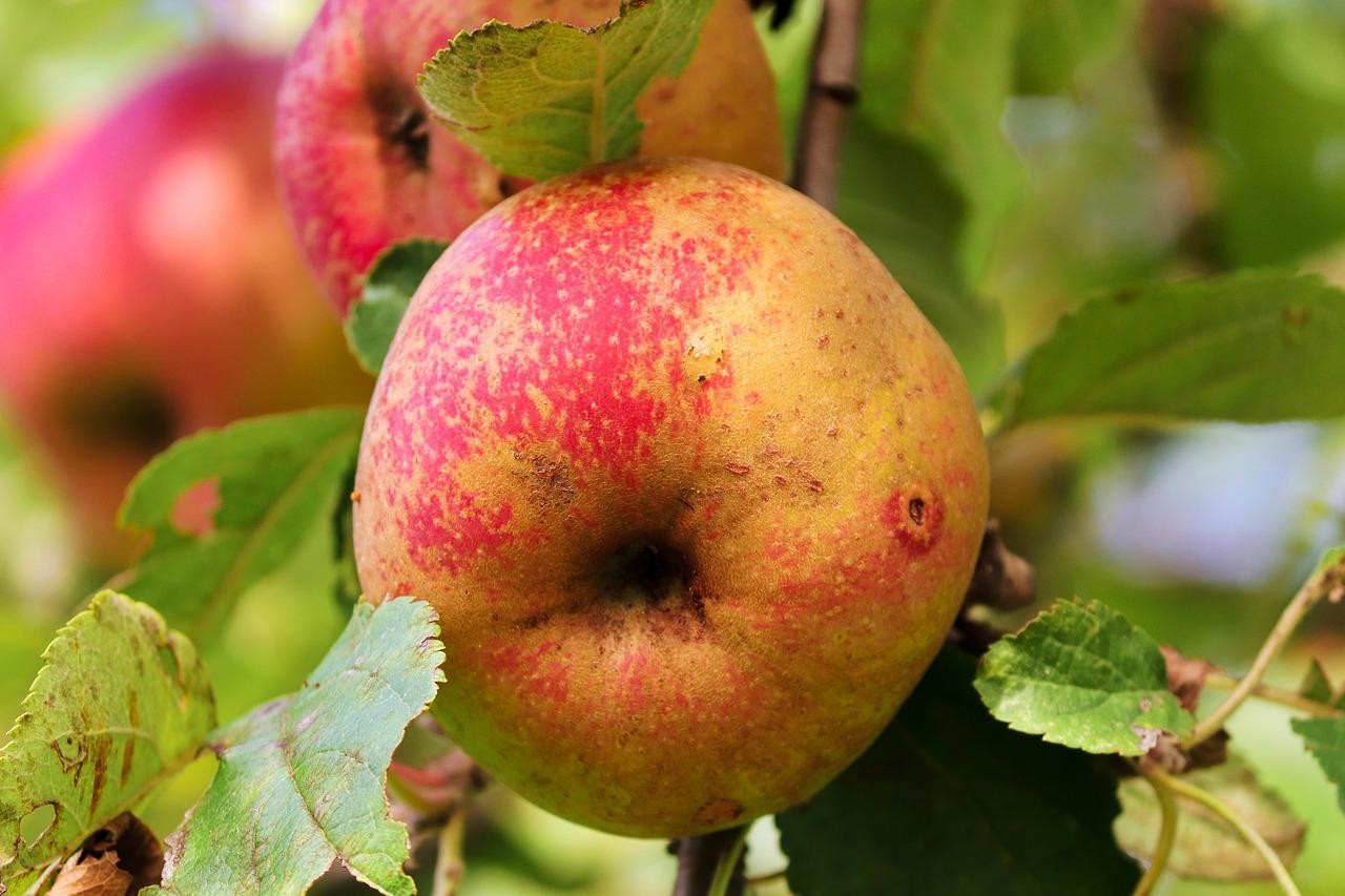 Extracteur de jus pour faire du jus de pomme